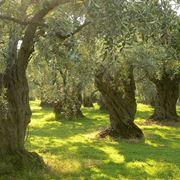 Alberi di olivo