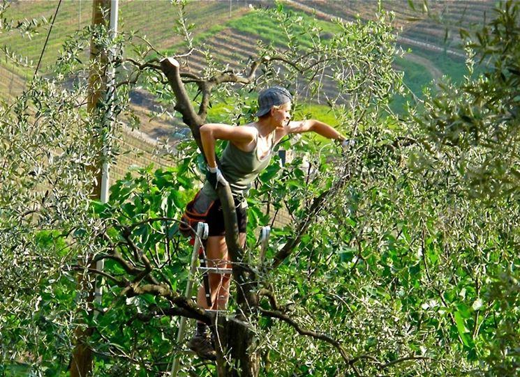 La potatura di un olivo