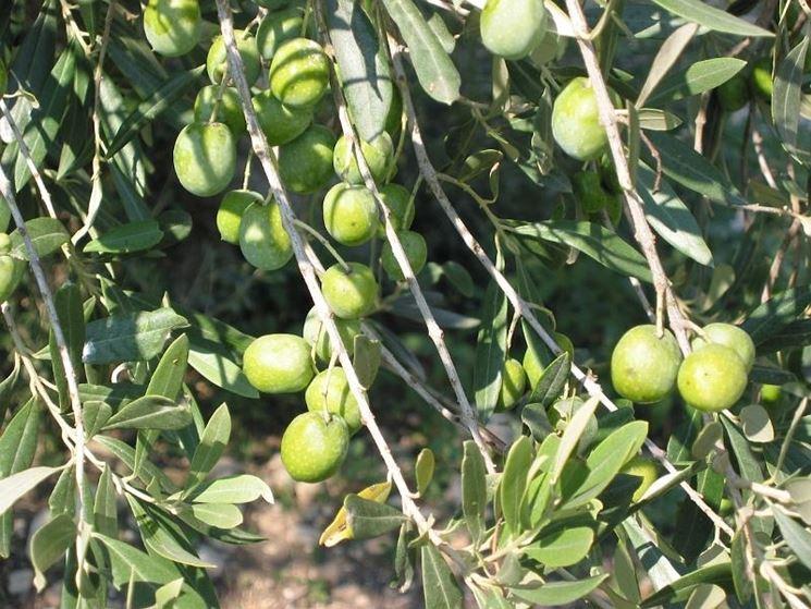 I frutti di un olivo