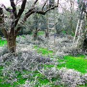 pianta dell'olivo