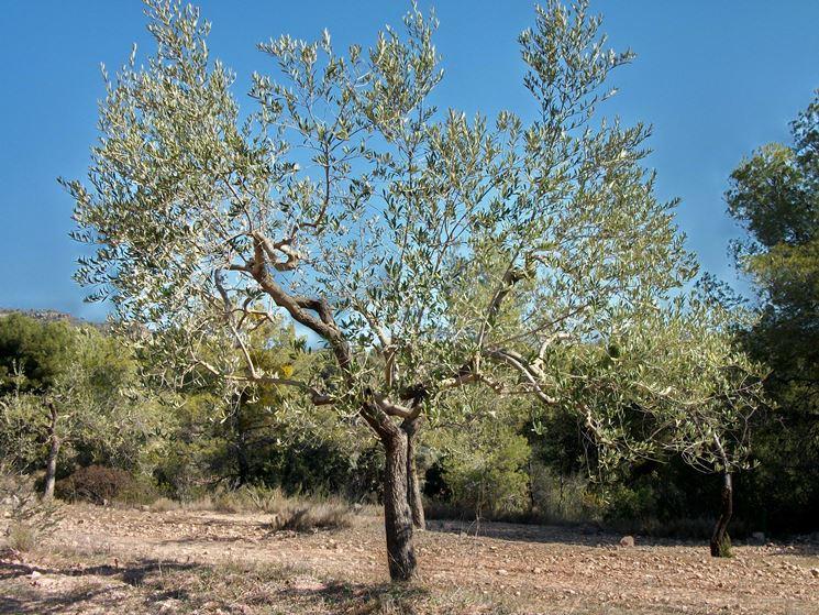 olivo aperto