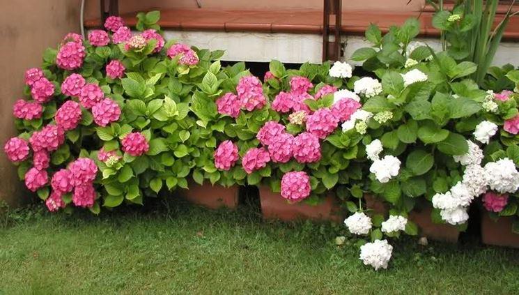 ortensie bianche e rosa in vaso