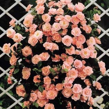 Potatura rose rampicanti