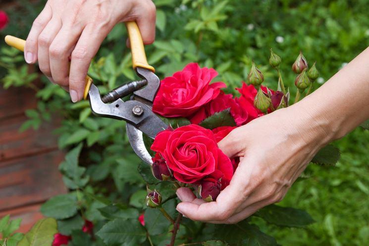 Coltivazione rose