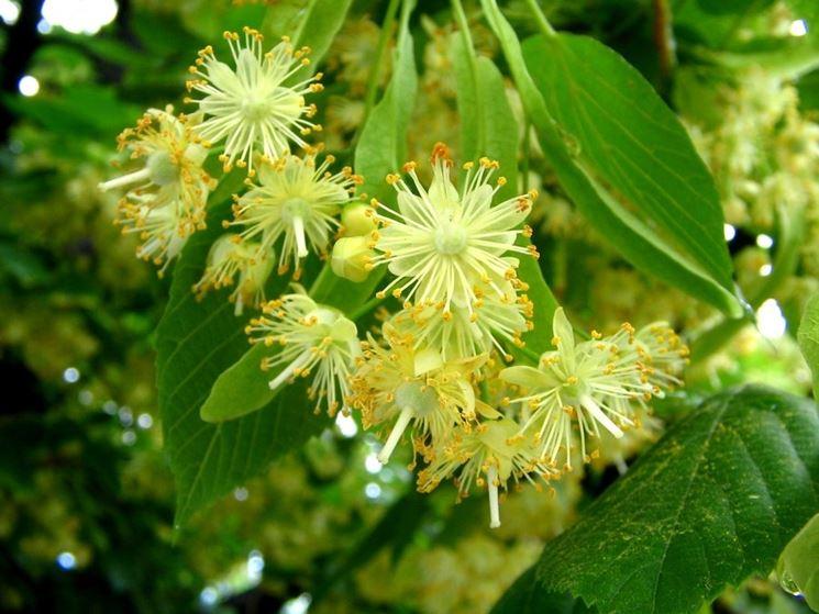 Fiore del tiglio