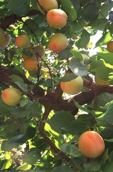 Ramo di albicocco con i frutti maturi
