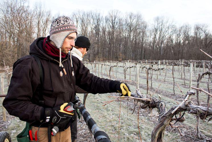 Potatura vigna durante l'inverno
