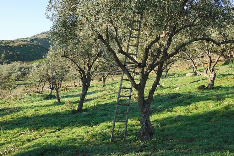 Potatura di un albero di ulivo