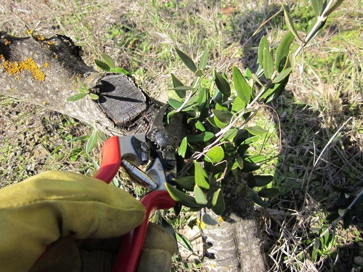Taglio di rami di ulivo per evitare un effetto di cespugliamento