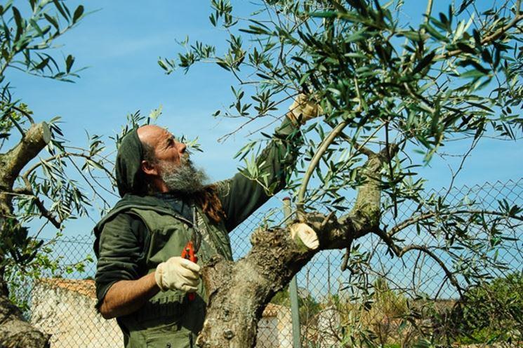 Potatura di un albero di olivo ancora giovane