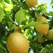 limone potatura