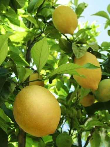 limoni in salute