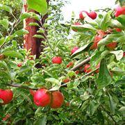 Ramo di melo carico di frutti