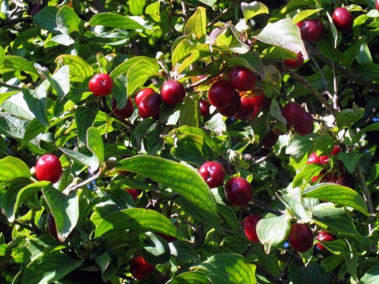 Splendidi frutti maturi