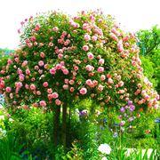 Rose ad alberello
