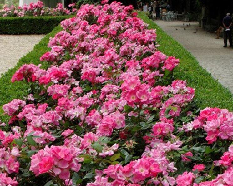 Rose copri-suolo o striscianti