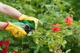 Rose potatura potatura come potare le rose for Potatura delle rose