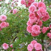 Rose sarmentose