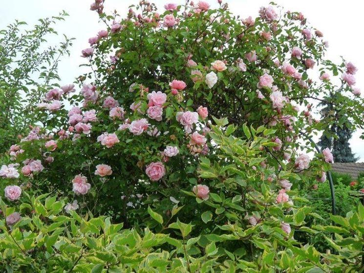 Esemplare di rosa sarmentosa