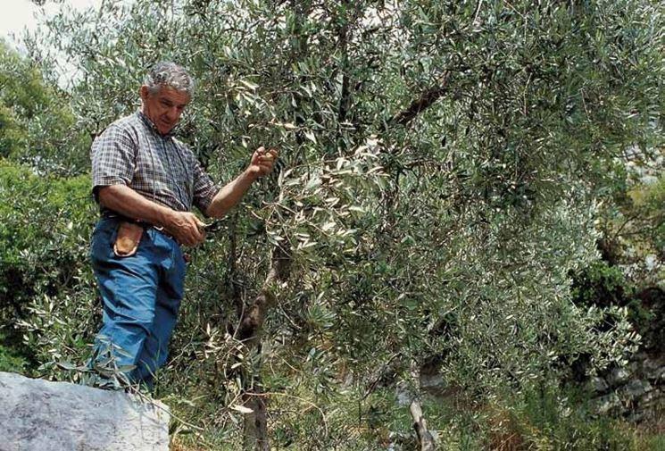 La coltivazione dell'ulivo