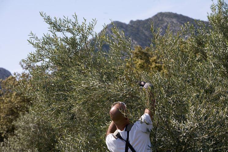 Olivi secolari in Calabria