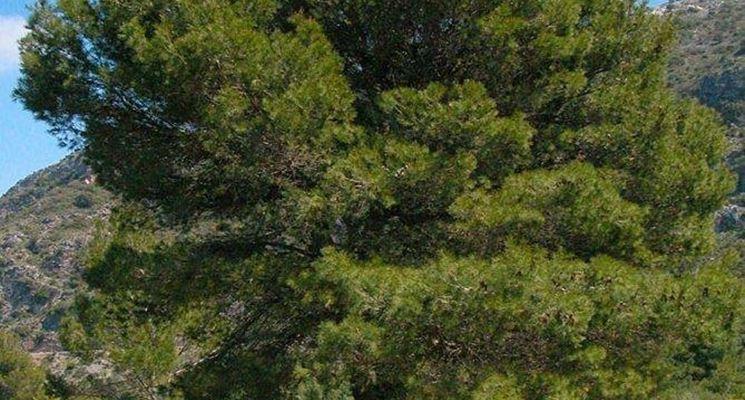 Albero di pino alberi conifere pino albero for Alberi simili alle querce