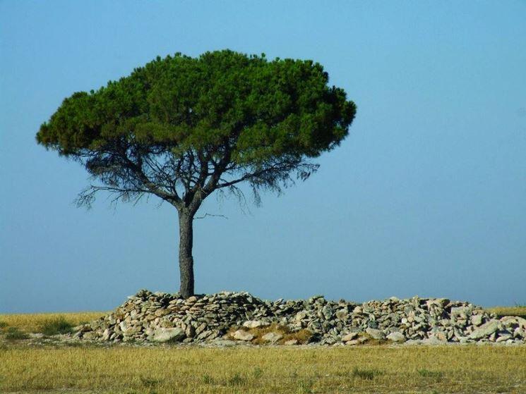 Albero di pino alberi conifere pino albero for Chioma albero