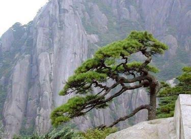 Varietà di pino