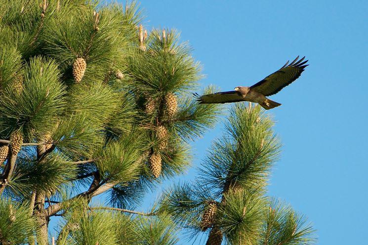 Pianta di pino domestico