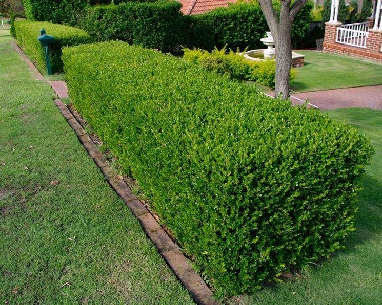 Buxus sempervirens alberi conifere caratteristiche del for Pianta bosso prezzo