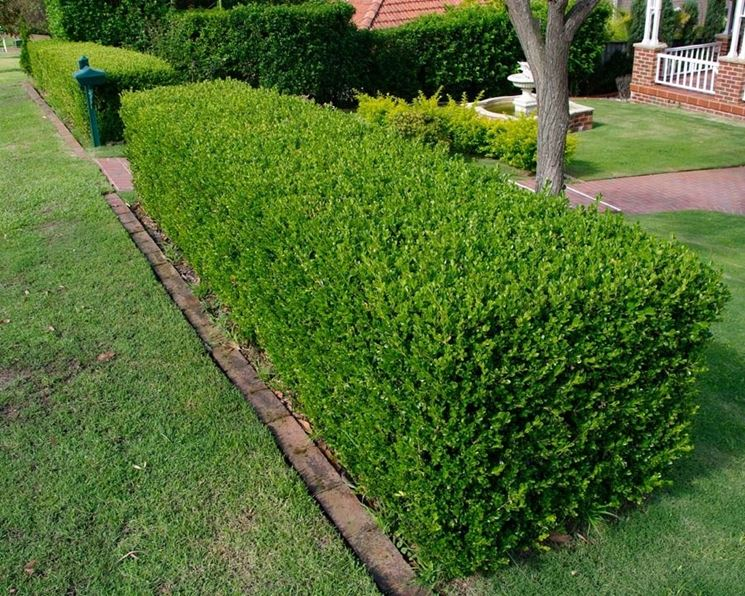 Buxus sempervirens adattato a siepe