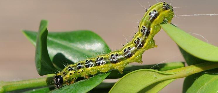 Ingrandimento dell'insetto piralide del bosso