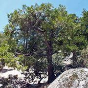 Albero cedro