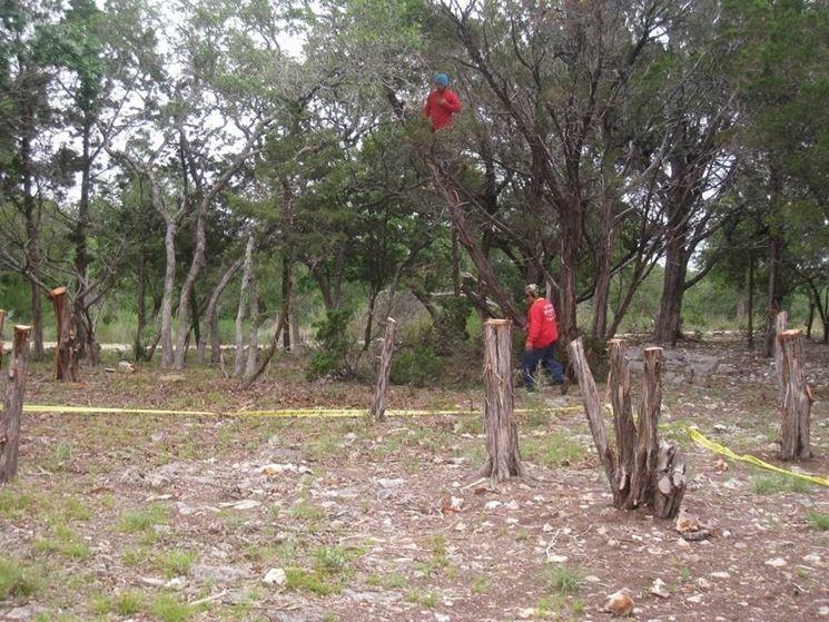 Potatura albero cedro