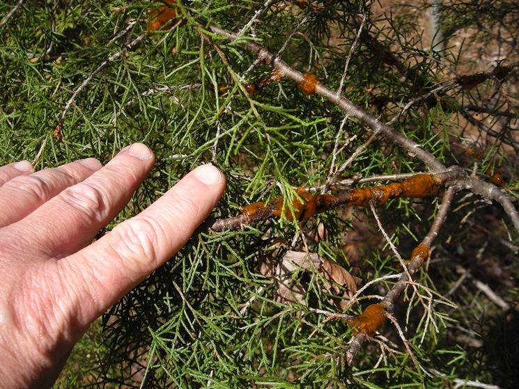 Parassita piante conifere