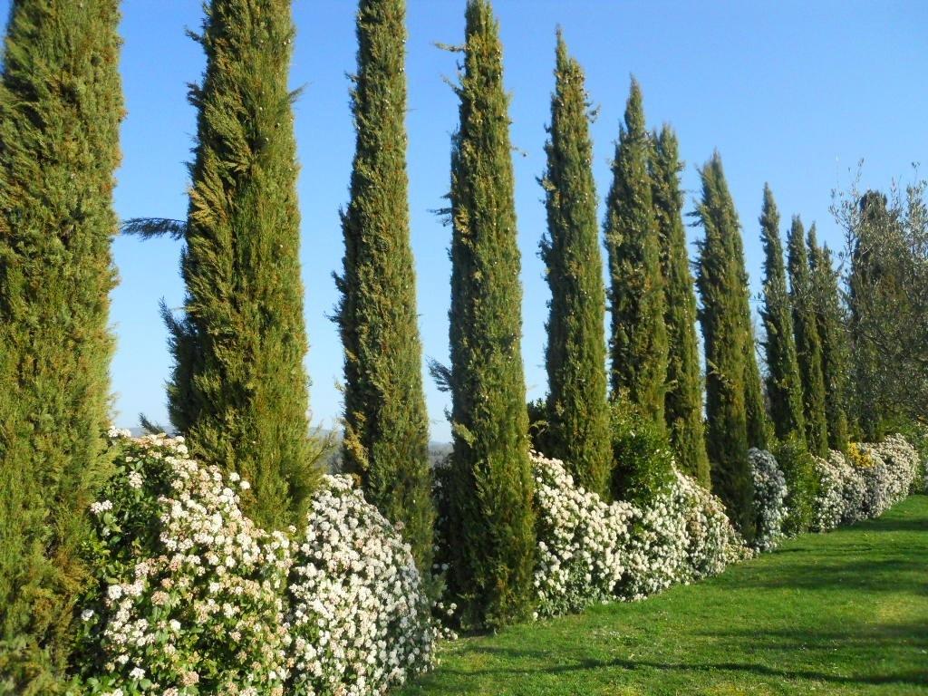 Cupressus sempervirens alberi conifere cupressus - Prezzi alberi da giardino ...