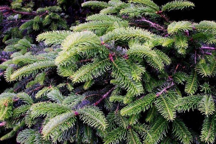 L 39 abete alberi conifere l 39 abete conifere for Abete da giardino