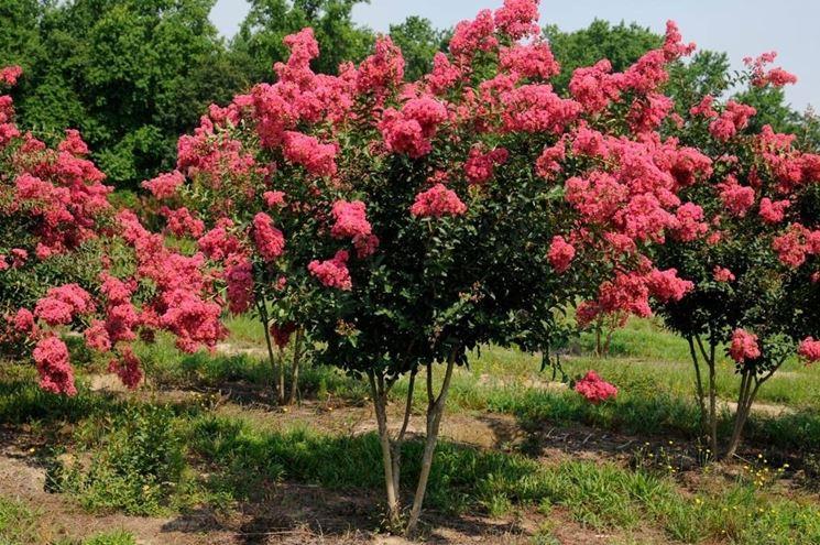 esemplari di Lagerstroemia indica in piena fioritura