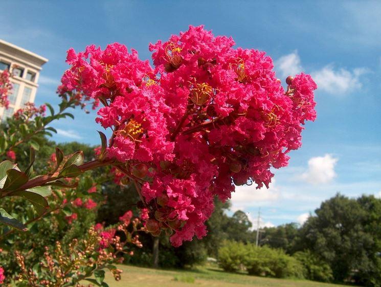 particolare della fioritura di Lagerstroemia indica