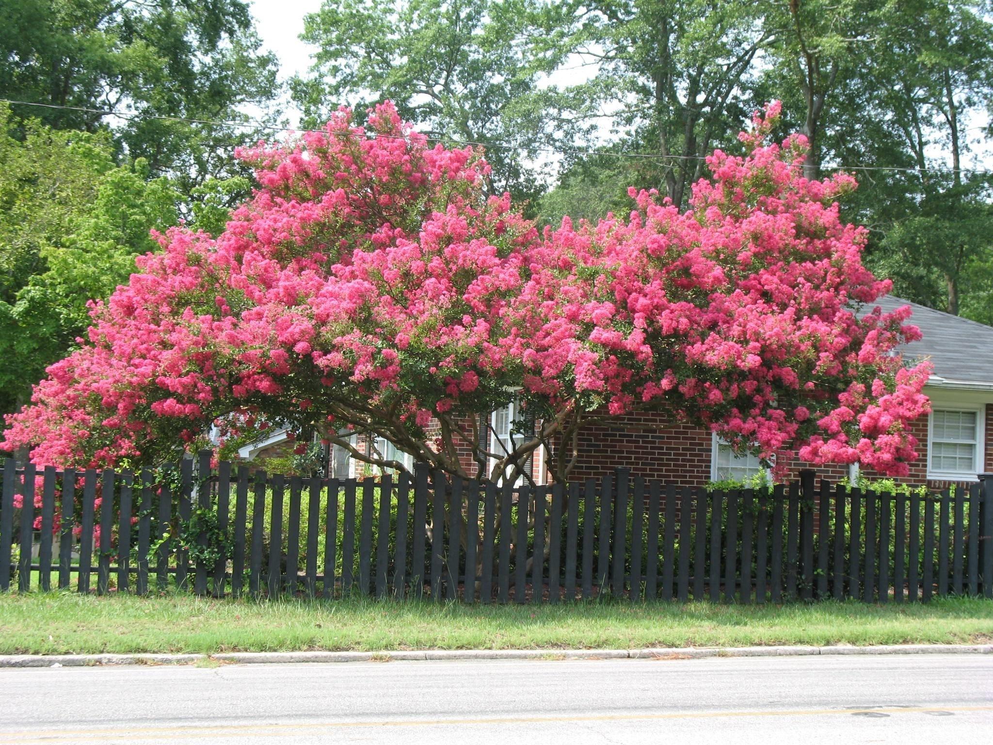 Lagerstroemia indica alberi conifere lagerstroemia indica for Arboles florales para jardin