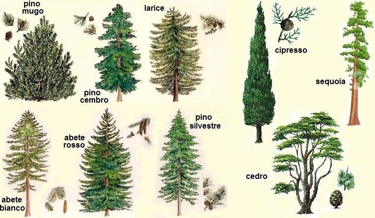 Pinus pinea alberi conifere pinus pinea giardino for Alberi sempreverdi