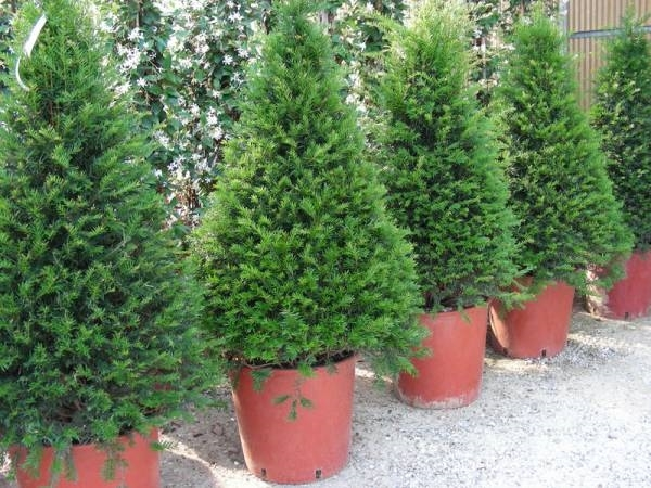 Taxus baccata alberi conifere taxus baccata per giardino for Conifere da giardino