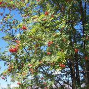 Esemplare di Sorbus aucuparia