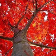 alberi sempreverdi a crescita rapida