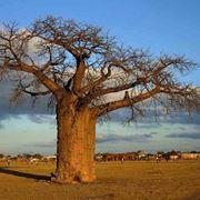 Esemplare di baobab