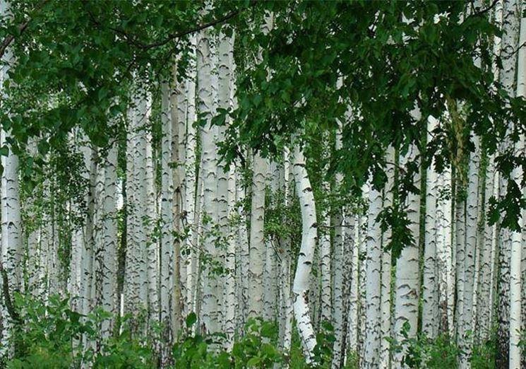 Tronchi di betulla bianca