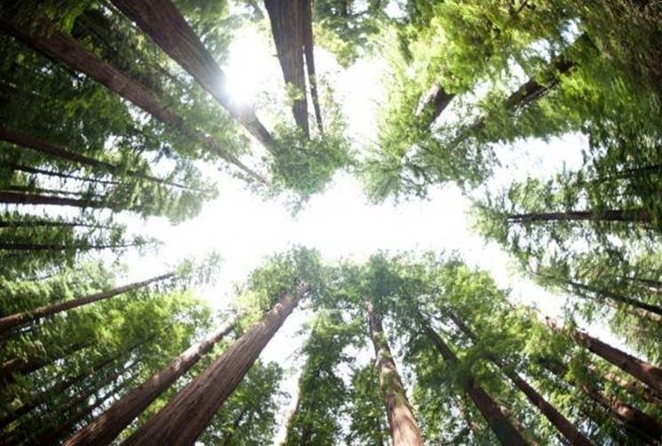 Esemplari di sequoie