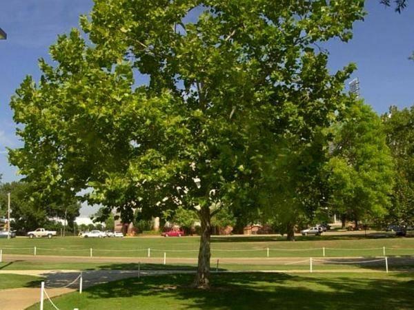 Alberi con fusto alto alberi latifolie alberi alto fusto for Alberi alto fusto da giardino
