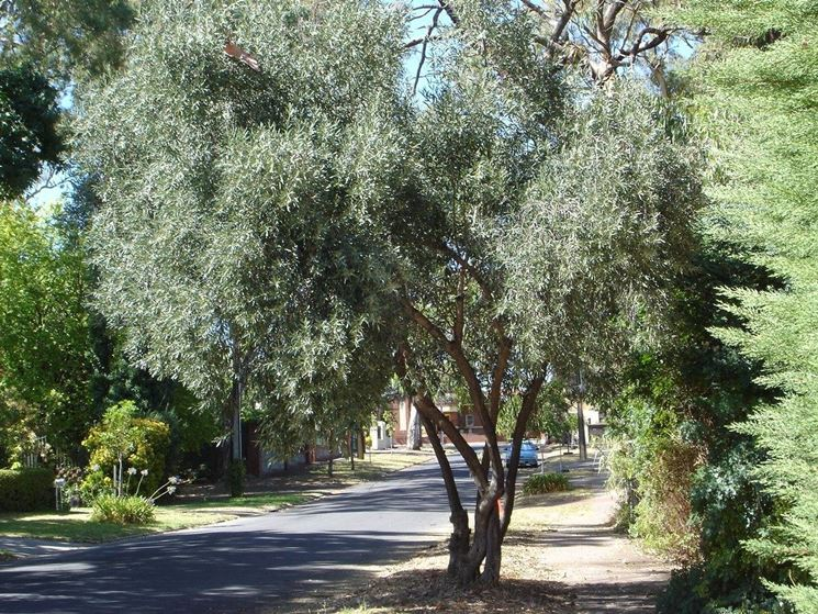 Alberi da giardino sempreverdi alberi latifolie alberi - Alberi sempreverdi da giardino ...