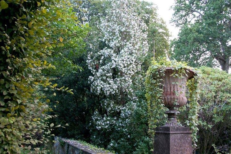 Alberi da giardino sempreverdi alberi latifolie alberi - Alberi da piantare in giardino ...